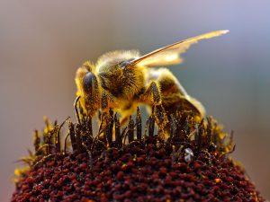 Biene beim Pollensammeln (PD Bild)