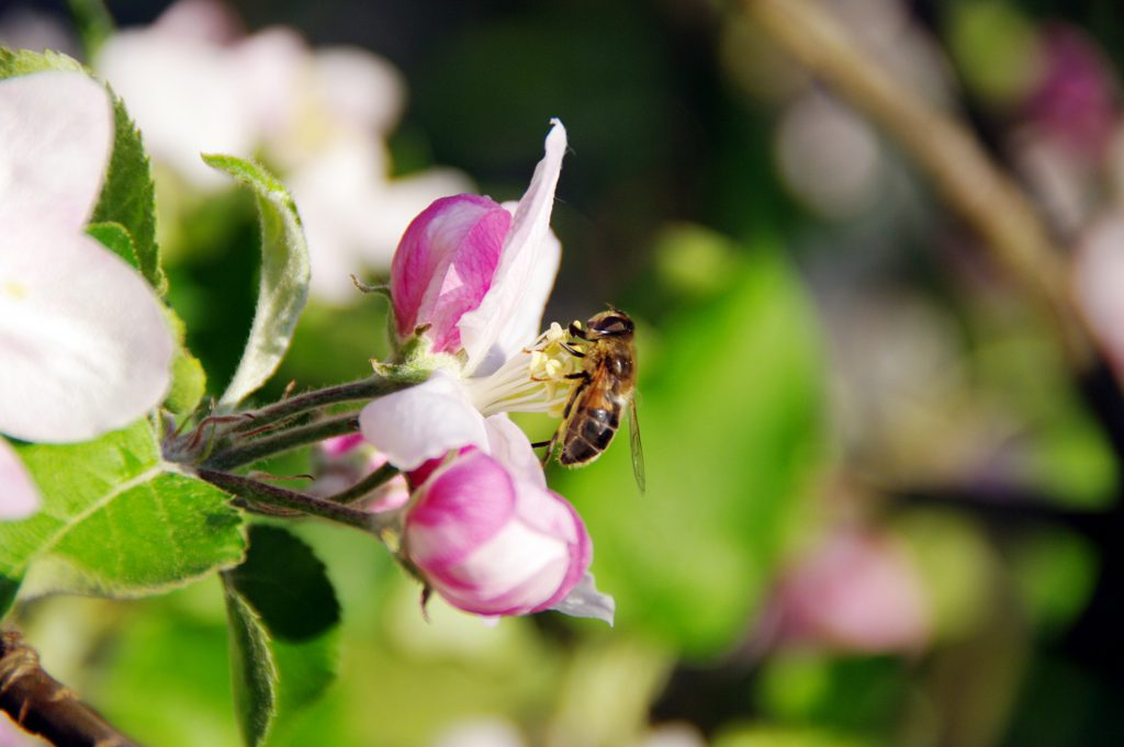 Bestäubung Apfelbluete (pixabay)