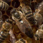 Bienenkönigin 1 (pixabay)