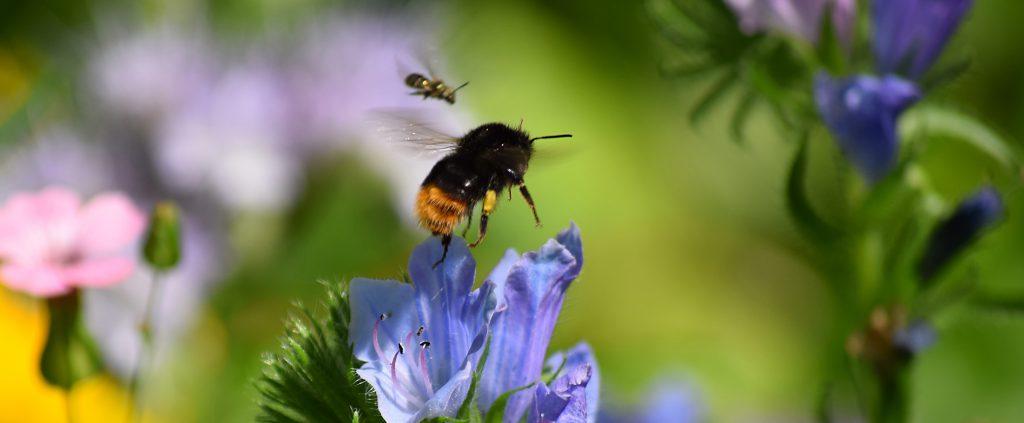 Hummel, Wildbiene (pixabay)
