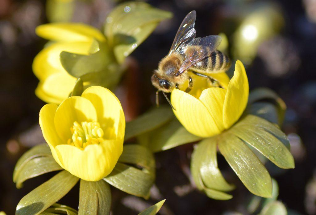 Biene -Winterling-Frühjahrsentwicklung