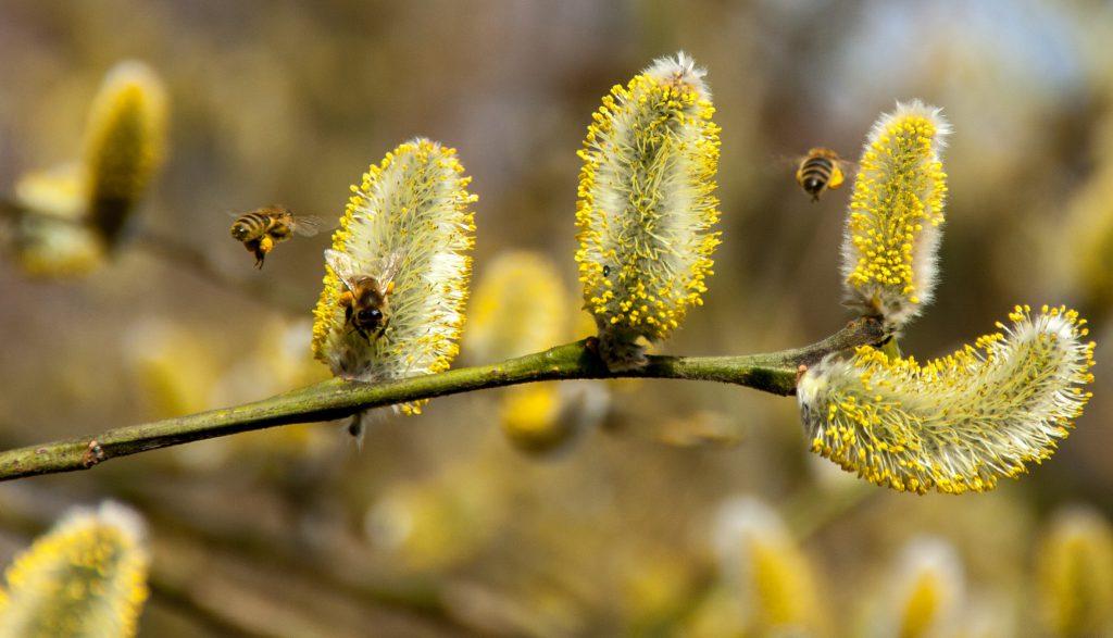 Bienen auf Salweide