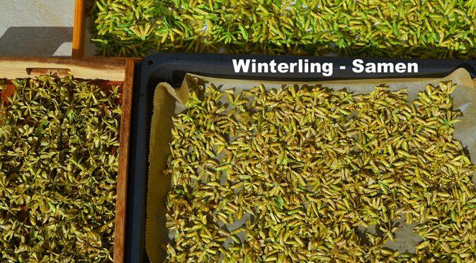 Winterling Samen reif